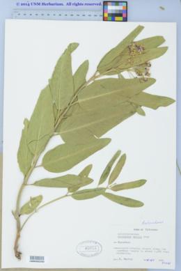 Asclepias hallii image