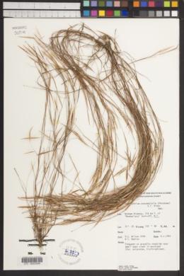 Image of Schizachyrium pseudeulalia