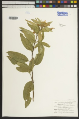 Cestrum thyrsoideum image