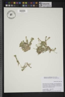 Image of Sphagnum capillifolium