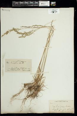 Image of Poa tenuifolia