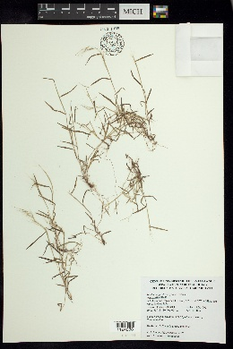 Image of Muhlenbergia diversiglumis