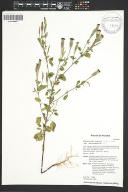 Porophyllum ruderale var. macrocephalum image