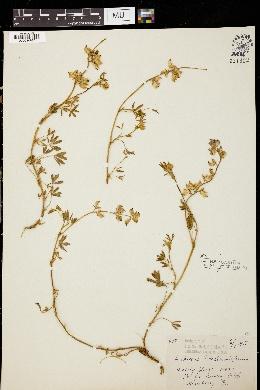 Image of Lupinus tidestromii