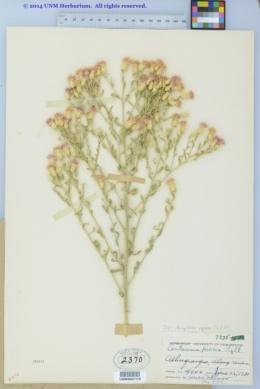Acroptilon repens image
