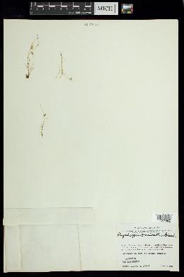 Image of Rhynchospora brevirostris