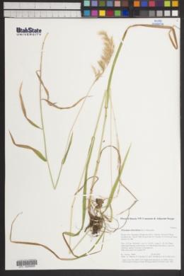 Image of Trisetum teberdense