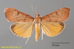 Uresiphita reversalis image