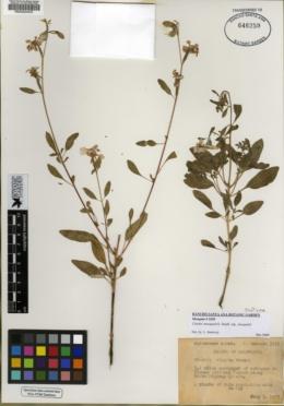 Clarkia mosquinii image