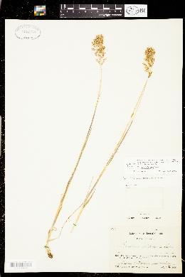Image of Trisetum sibiricum