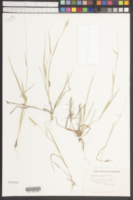 Hilaria ciliata image