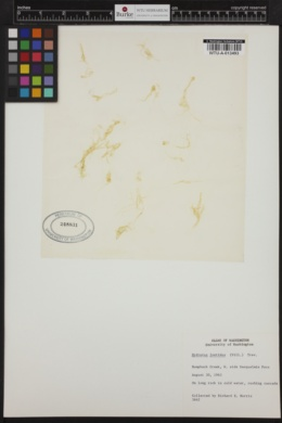 Hydrurus foetidus image