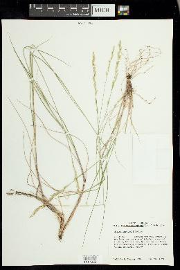Melica harfordii image