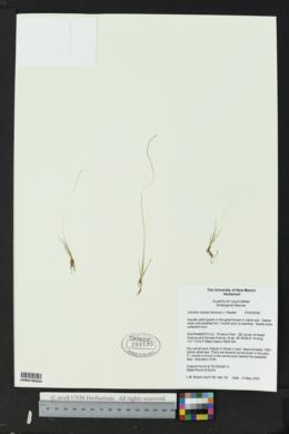 Image of Orcuttia viscida