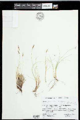 Image of Carex circinnata