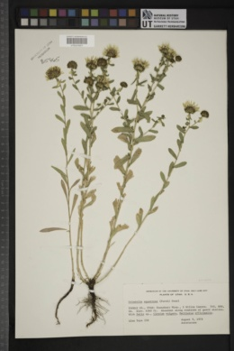 Grindelia squarrosa var. serrulata image