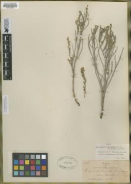 Image of Burroughsia fastigiata