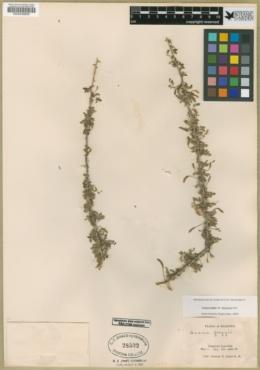 Acacia greggii image