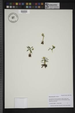 Image of Ranunculus jovis