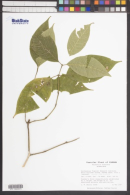 Image of Psychotria acuminata
