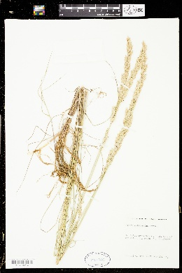 Melica californica image