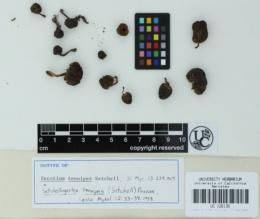 Setchelliogaster tenuipes image