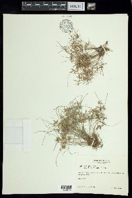 Cyperus fugax image