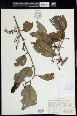 Prunus guatemalensis image