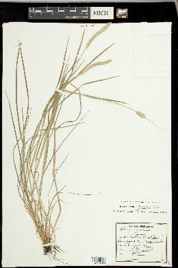 Alopecurus aequalis image