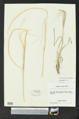 Sporobolus cryptandrus image