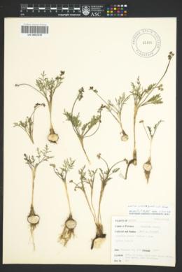 Image of Lomatium piperi