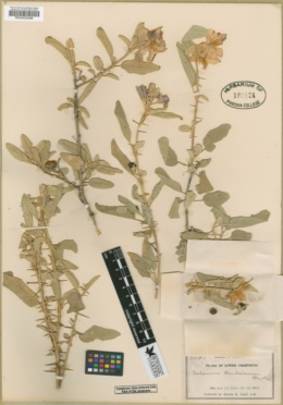 Solanum hindsianum image