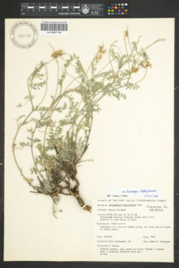 Astragalus humistratus var. humivagans image