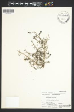 Enchylaena tomentosa image