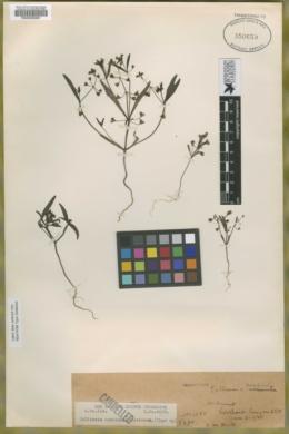 Image of Collinsia monticola