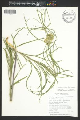 Asclepias rusbyi image