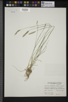 Agropyron cristatum subsp. desertorum image