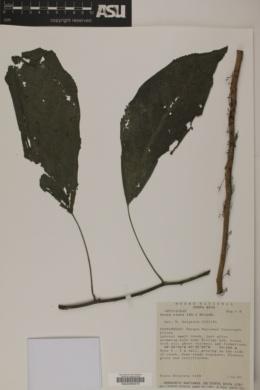 Image of Urera elata
