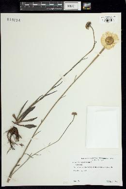 Gaillardia aestivalis var. aestivalis image