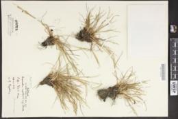 Puccinellia agrostidea image