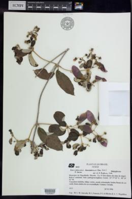 Banisteriopsis argyrophylla image