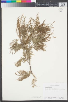 Image of Acacia mearnsii