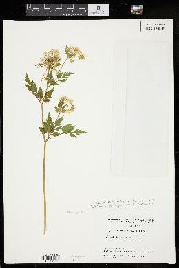 Image of Thaspium barbinode