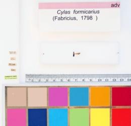 Cylas formicarius image