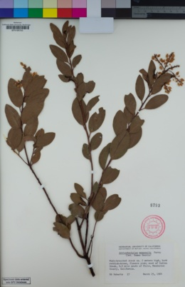 Image of Arctostaphylos manzanita