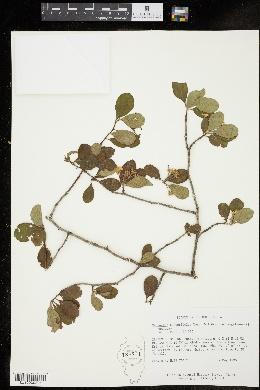 Image of Crataegus berberifolia
