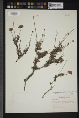 Eriogonum fasciculatum image