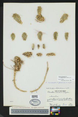 Opuntia polyacantha var. arenaria image