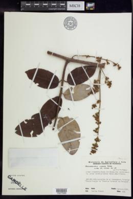 Image of Banisteriopsis lyrata