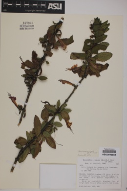 Image of Berendtia rugosa